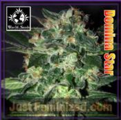 Domina Star female cannabis seeds Best Price cheap